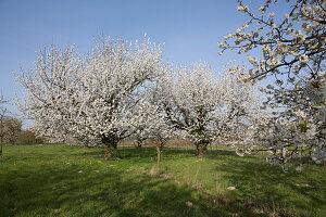 Blühende Prunus avium (Suesskirschen) auf der Wiese