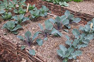 Gemüsebeet mit Einfassung aus Haselruten mit Brokkoli und Kohlrabi (Brassica)
