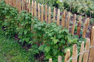 Herbst-Himbeeren (Rubus) an Kastanien-Rollzaun