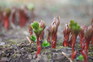 Austreibende Pfingstrosen (Paeonia)