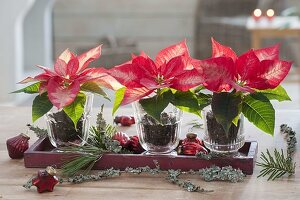 Euphorbia pulcherrima 'Ice Chrystal' (Weihnachtssterne) in Gläsern