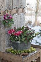 Cyclamen (Alpenveilchen) mit rot-weissen Blüten in Zink-Topf