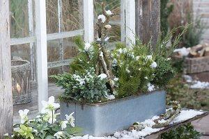 Blechkasten mit Koniferen bepflanzt vorm Fenster vom Gewächshaus