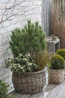 Korb winterfest bepflanzt : Pinus (Kiefer) , Skimmia japonica 'Kew White'