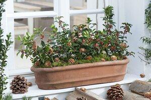 Terracotta-Kasten winterlich bepflanzt mit Ilex (Stechpalmen