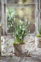 Galanthus nivalis (Schneeglöckchen) in Rinden-Topf mit Moos und Zweigen