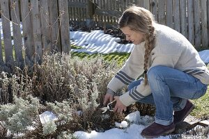 Frau schneidet Heiligenkraut (Santolina chamaecyparissus) im Bauerngarten