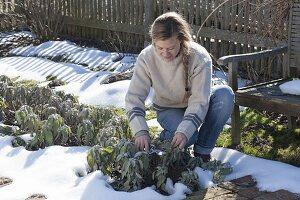 Frau schneidet Salbei (Salvia officinalis) im Bauerngarten zurück