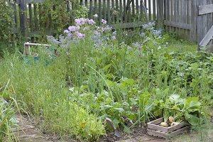 Ernte von gelben Mairübchen im Biogarten