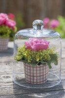 Rosentoertchen : einzelne Blüte von Rosa (Rose) mit Manschette