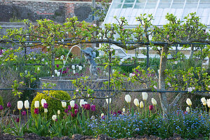 Arundel Castle GARDENS, West Sussex: THE VEGETABLE Garden - Tulipa BELOW Step-OVER APPLES