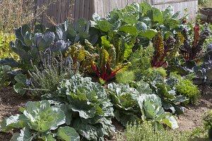 Huegelbeet mit Weisskraut, Wirsing, Rotkohl und Rosenkohl (Brassica),
