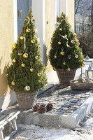 Picea glauca 'Conica' (Zuckerhutfichten) weihnachtlich geschmückt