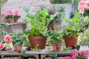 Tontoepfe mit Salat (Lactuca), Erdbeeren (Fragaria)