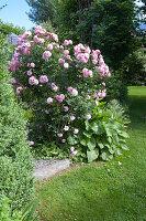 Rosa 'Bonica 82' (Kleinstrauchrose), oefterbluehend