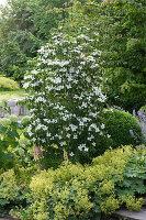 Cornus kousa var. chinensis 'Schmetterling' (Blumenhartriegel)