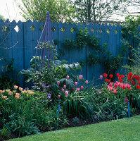 Blauer Zaun, purpurner Obelisk hinter Beet mit Tulipa 'Oxford', 'Mariette', 'Esther' und 'Greenland'