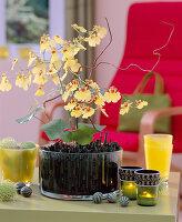 Orchideenblüten im Glas mit Ackerschachtelhalm als Steckhilfe