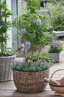 Kleine Wisteria frutescens ( Blauregen ) am Spalier in Korb