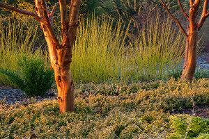 Garten mit Zimt-Ahorn und Bodendecker im Winter