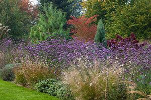 Herbst-Beet mit Eisenkraut (Verbena bonariensis), Federborstengras (Pennisetum), Prachtkerze (Gaura) und Gehölzen