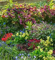 Frühlings-Beet mit Lenzrosen (Helleborus orientalis), Lungenkraut (Pulmonaria), Schlüsselblumen, Primeln (Primula)