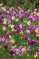 Bunter Mix aus Tulpen 'Negrita', 'New Design', 'Passionale', 'Orange Princess' (Tulipa) und Narzissen 'Peeping Jenny' (Narcissus)