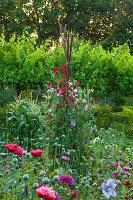 Beet mit einjährigen Sommerblumen, Duftwicken (Lathyrus odoratus) an Stangen