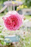 Englische Rose 'Jubilee Celebration'