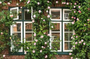 Historisches Backsteinhaus begrünt mit üppigem Rosenschmuck