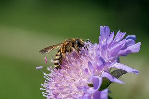 Furchenbiene auf Acker-Witwenblume Blüte von Skabiose