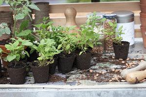 Topftisch mit Jungpflanzen in Torftöpfen