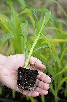 Zuckermais Jungpflanze