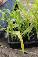 Zuckermais Jungpflanzen in Anzuchtplatte