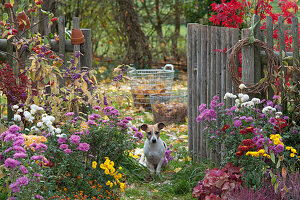 Herbstgarten mit Chrysanthemen, Liebesperlenstrauch, Zierapfel, Hund Zula