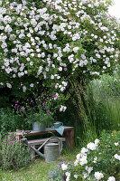 Holzbank unter Rose 'Venusta Pendula', Witwenblume im Zink-Gefäß
