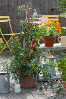 Tomate und Kapuzinerkresse 'Alaska' zum Naschen auf dem Balkon