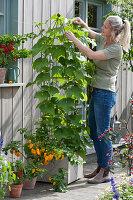 Frau leitet Ranken der Chayote-Pflanze an Rankstele, Chili 'Frontera Sweet' mit gelben Früchten
