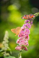 Kaisermantel und Tagpfauenauge auf Blüte vom Sommerflieder