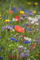 Blumenwiese mit Klatschmohn, Borretsch, Kornblumen und Wucherblumen