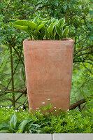 Terracotta-Kübel mit Funkien im Beet zwischen Waldmeister