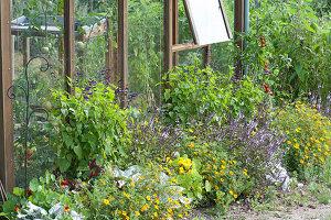 Beet mit Sommerblumen am Gewächshaus: Gewürz-Tagetes, Strauchbasilikum, Kreuzkraut 'Angel Wings', Salbei-Hybride Rockin 'True Blue', Kapuzinerkresse und Tomate