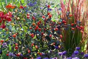 Peperoni 'Lila Luzi' und Japanisches Rotgras 'Red Baron' im Beet