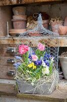 Tulpen, Netziris, Narzissen, Traubenhyazinthen und Hyazinthe in Zink-Kasten unter Hasendraht