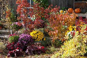 Herbstbeet mit Perückenstrauch, Schneeball, Chrysanthemen, Purpurglöckchen, Wolfsmilch und Heiligenkraut