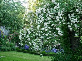 Ländlicher Rosengarten mit Ramblerrose 'Lykkefund'