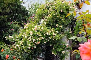 Ramblerrose 'Ghislaine de Feligonde' an der Hauswand