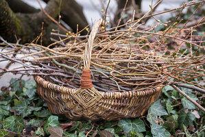 Zweige zum Antreiben in der Vase: Kornelkirsche 'Gourmet-Dirndl'