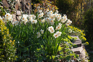 Blühende Narzissen 'Bridal Crown' im Hanggarten, terrassiert mit Trockenmauern