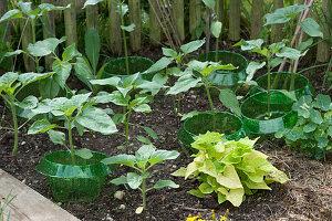 Sonnenblumen-Jungpflanzen zum Teil mit Schneckenschutzring, Süßkartoffelpflanze 'Light Green' und Kapuzinerkresse mit Schneckenschutzring